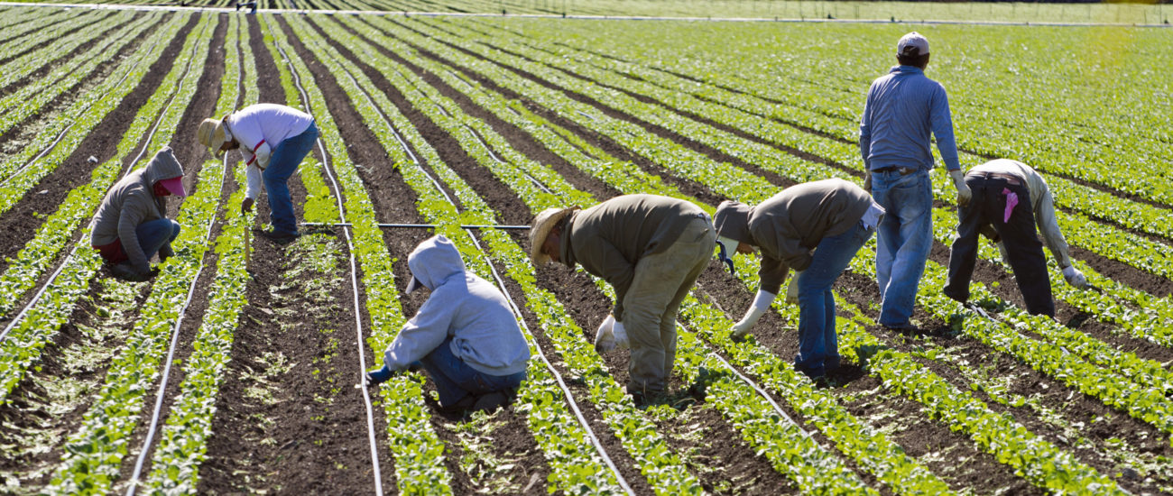 farm workers weeding spinach in California